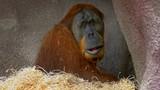 Sumatran orangutan (Pongo abelii) in zoo - 232223173