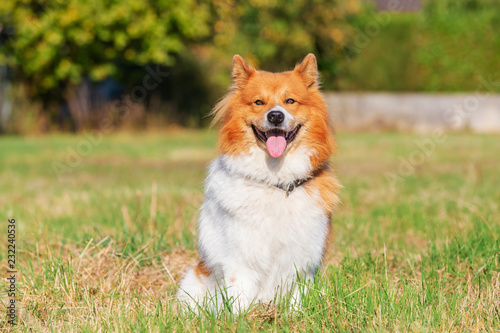 portrait of an Elo dog sitting on the meadow - 232240536