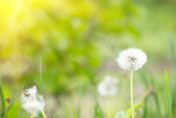 dandelion in the nature with solar light - 232245567