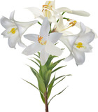 five white lily blooms and bud on stem - 232247341