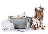 little dogs and bath © cynoclub