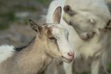 Domestic goat - 232249757