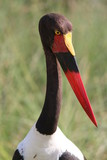 Saddle-billed Stork in the Masai Mara