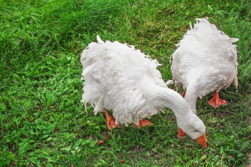 Geese are curly!