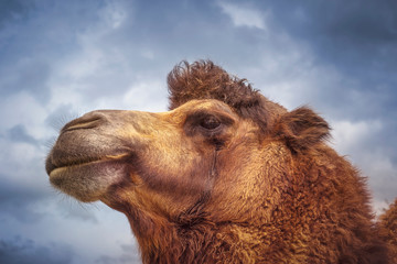 Portrait of an animal, camel.
