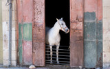 White horse looking outside from horse stable - 232267104