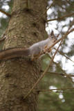Funny red squirrel sitting high on a tree in winter forest - 232273564