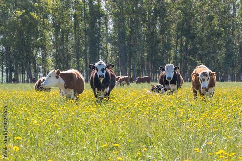 A bunck of cows