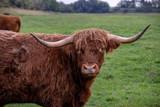 Vaches Highland cattle au pré - 232281175