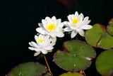 Weise Seerosen im Teich (Nymphaea) - 232281733
