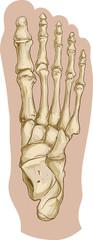 Vector illustration of a  medical foot bone anatomy © corbacserdar