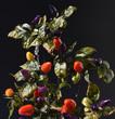 Leinwanddruck Bild - Chili, Lila Luzi