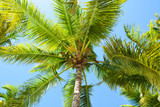 tree, palm, coconut, tropical, nature, green, leaf, animal, fruit, sky, leaves, palm tree, plant, squirrel, coconuts, jungle, blue, trees, beach, summer, coconut tree, exotic, forest, asia, caribbean - 232290373