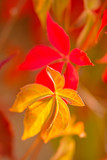 wild vines leaves at an old wall in autumnal colors - 232295383