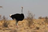 ostrich in kenya - 232300183
