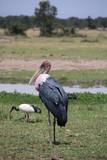 marabou stork kenya