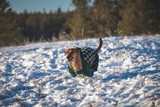 A beautiful brown dachshund walking in a snow with clothes. Pet running in the winter. Yakutian winter, pet enjoying at sunset. - 232314549