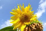 close up of beautiful sunfower in yellow color with sunshine and blue sky