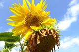 close up of two sunflowers with sunlight and blue sky, clouds