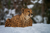 cheetah in the snow - 232322317