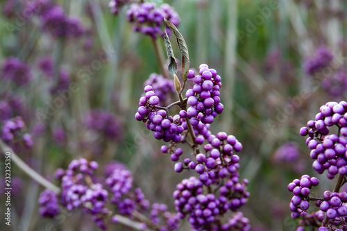 Bodinier's Beautyberry Owoce jesienią