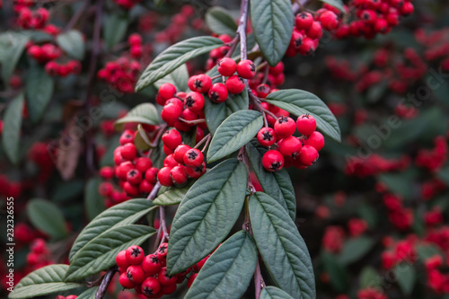 Foto Murales Hylmo's Cotoneaster Fruits in Autumn