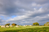 Sheep grazing in a field on a sunny winters day with rain clouds in the sky - 232326723