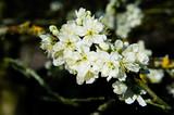 Spring blossom - 232334517