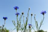Cornflowers in the field