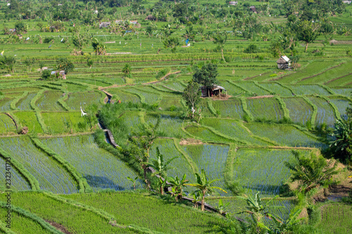 Foto Murales Holiday Bali Indonesia people working in rice field