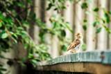 a little sparrow on the fence