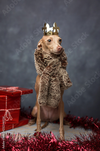 Funny dog dressed as a wizard king. Christmas