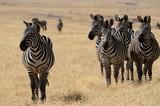 Zebra © Knöpfli