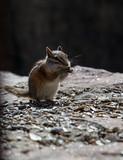 A cute baby chipmunk eating - 232358159