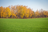 autumn landscape with winter crops and yellow trees - 232359542