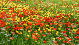 Tulipfield in bloom, beautiful yellow and red tulips