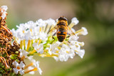 Myathropa florea hoverfly pollination on white flowers - 232365943