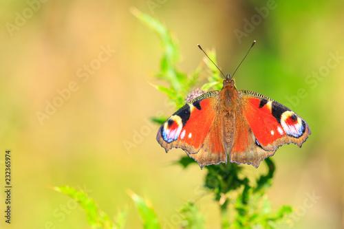Foto Murales European Peacock butterfly Aglais io feeding
