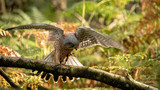 Kestrel about to take off, flaps his wings to generate lift (motion bur) - 232366104