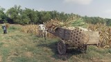 Farmer loading corn stalks over corn crops onto wooden cart on the edge of the field ( close up ) - 232367904