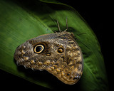 Owl butterfly in The Arenal Rainforest, Costa Rica