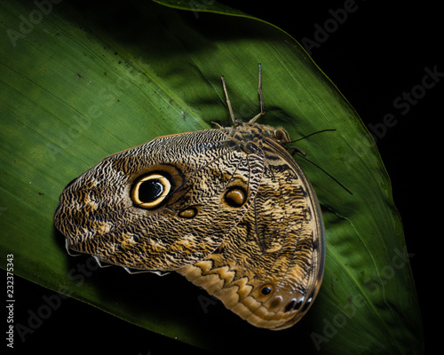 Owl butterfly in The Arenal Rainforest, Costa Rica - 232375343