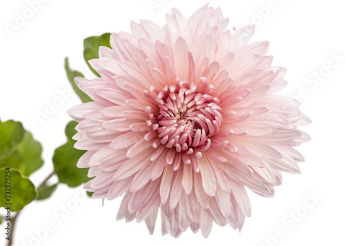 Poster Chrysanthemum flower, isolated on white background