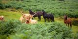 Vacas y caballos salvajes en el Parque Nacional de Dartmoor - 232383158