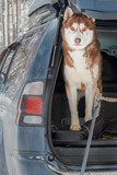 Dog in trunk jeep car. Red Siberian husky dog looks forward to the camera.