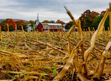 Rows of yellow stalks are all that are left on a recently harvested corn field - 232404520