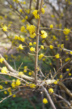 Lindera benzoin or spicebush yellow plant at spring vertical - 232415719