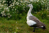 Male Upland goose or Magellan Goose (Chloephaga picta) in Chile, South America - 232425553