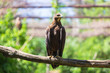 Portrait of an eagle in the zoo