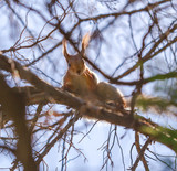 Squirrel on the branches of a tree in nature - 232427979